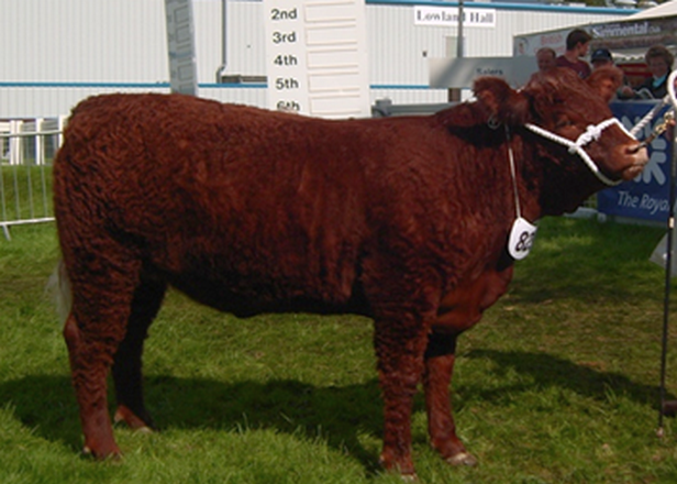 HEIFER CATCHES THE EYE AT RHS 2011