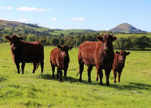 SALERS – IDEAL BREED AT PINMORE MAINS