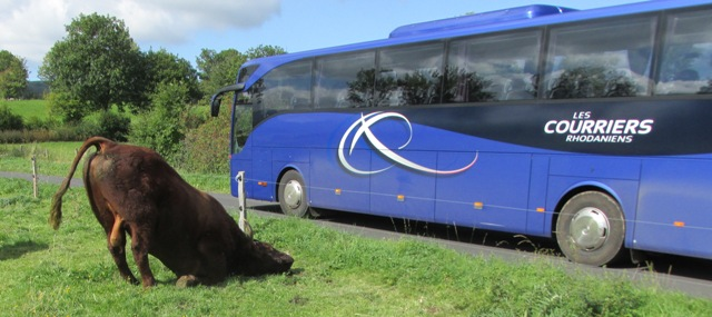 M Defisque's bull took a liking to the big blue bus!