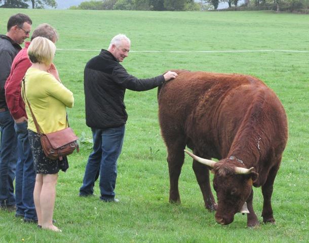 M Trins cattle - so quiet