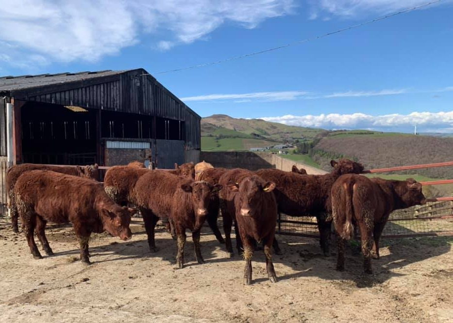 FOR SALE – 12-15 MONTH OLD HEIFERS