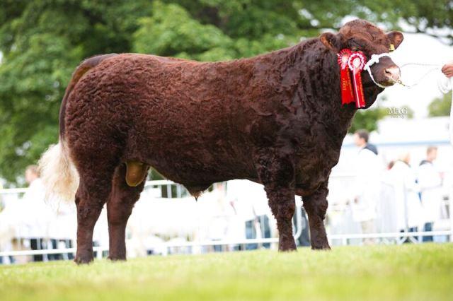 Champion Bull - Cumbrian Capermello