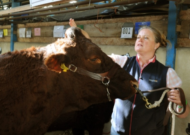 Rachel Hallos prepares Beeston Hall Dena, the female and breed champion Salers at the 2015 Great Yorkshire Show in Harrogate.