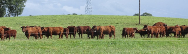 The cattle lined up to see us off!