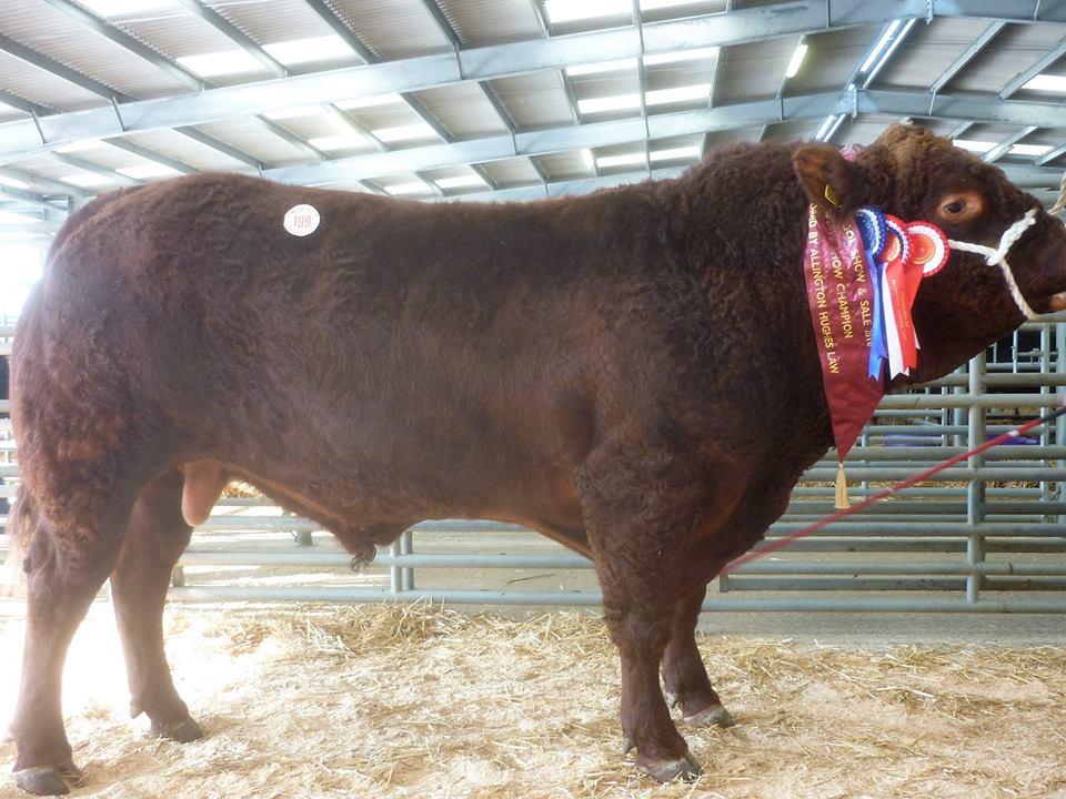 Top price bull Rigel Pennine