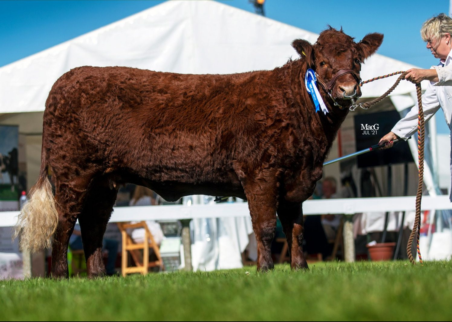 Read more about the article SALERS CROWNED BEST BEEF BREED